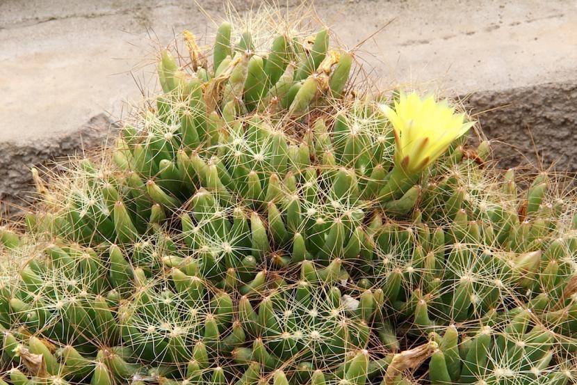 Mammillaria_longimamma_flor