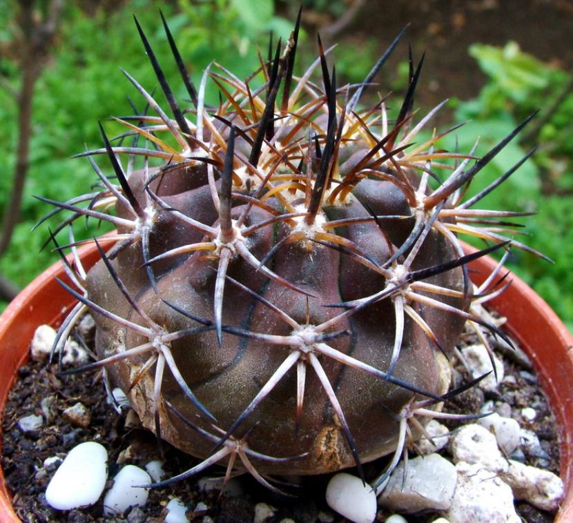 Copiapoa echinoides cv dura