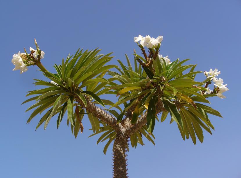 Pachypodium lamerei en flor