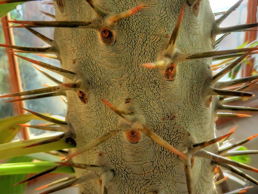 Tronco de Pachypodium lamerei
