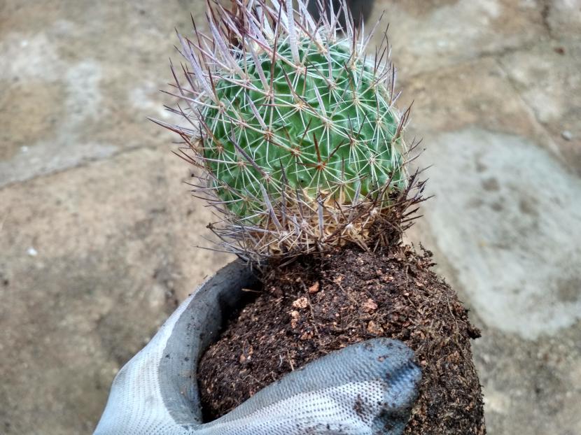 Cactus sin hierbas