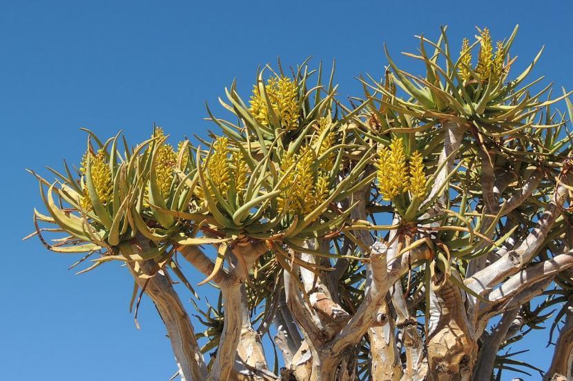 Aloe dichotoma en flor
