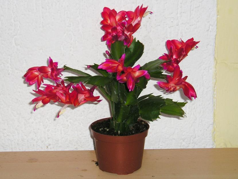 Cactus de Navidad de flor roja