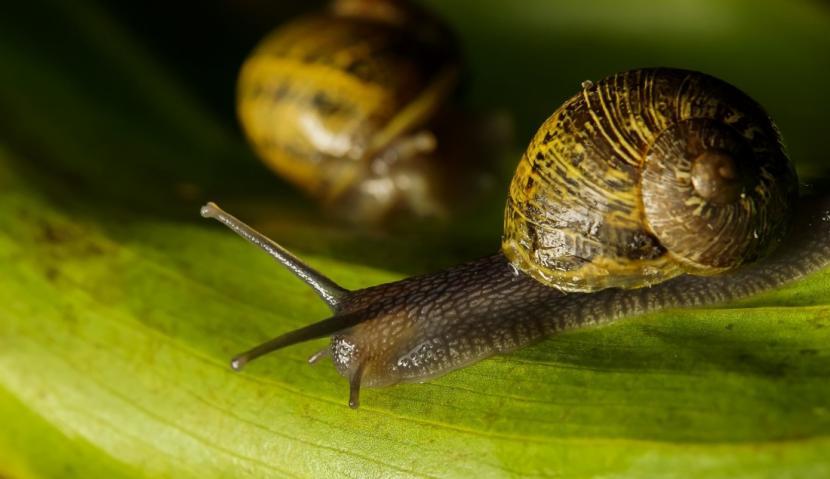 Los caracoles pueden destruir el Gymnocalycium baldianum