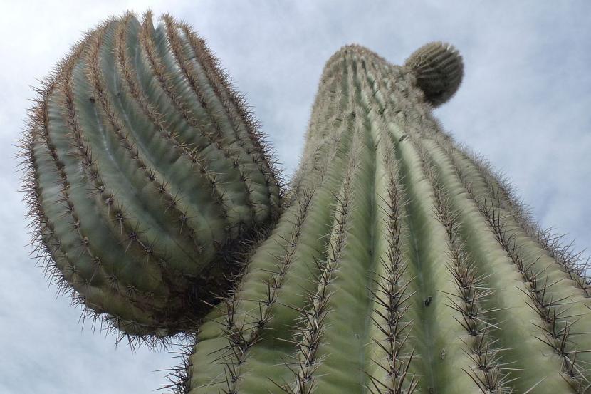 Carnegiea gigantea en su hábitat