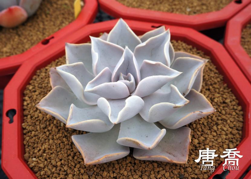 Echeveria strictiflora