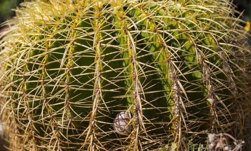 Caracol en Echinocactus grussonii
