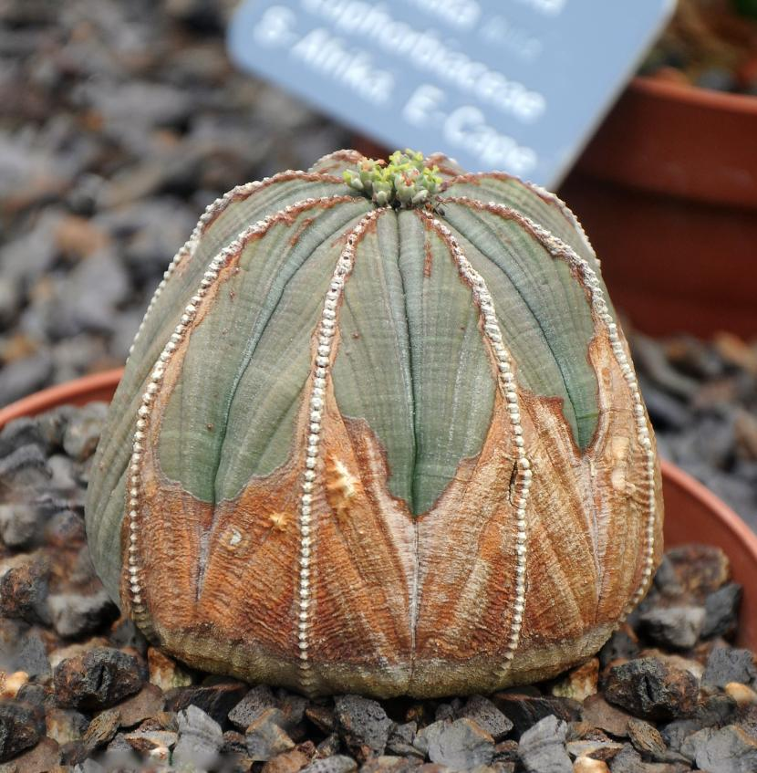 Ejemplar adulto de Euphorbia obesa