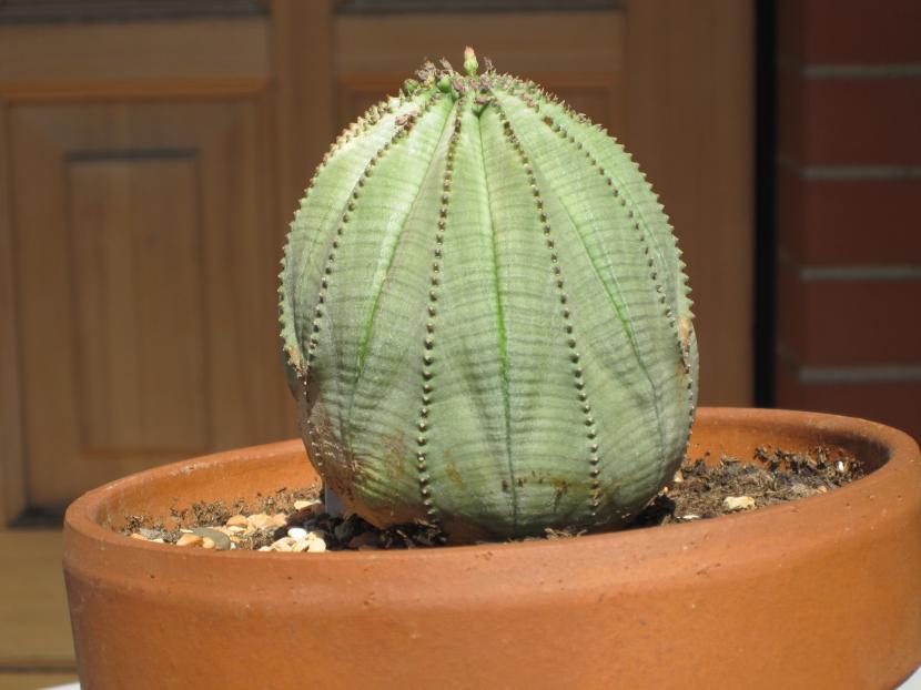 Euphorbia_obesa_planta