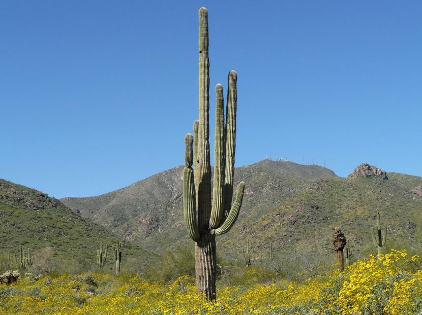 Ejemplar adulto de Saguaro en hábitat