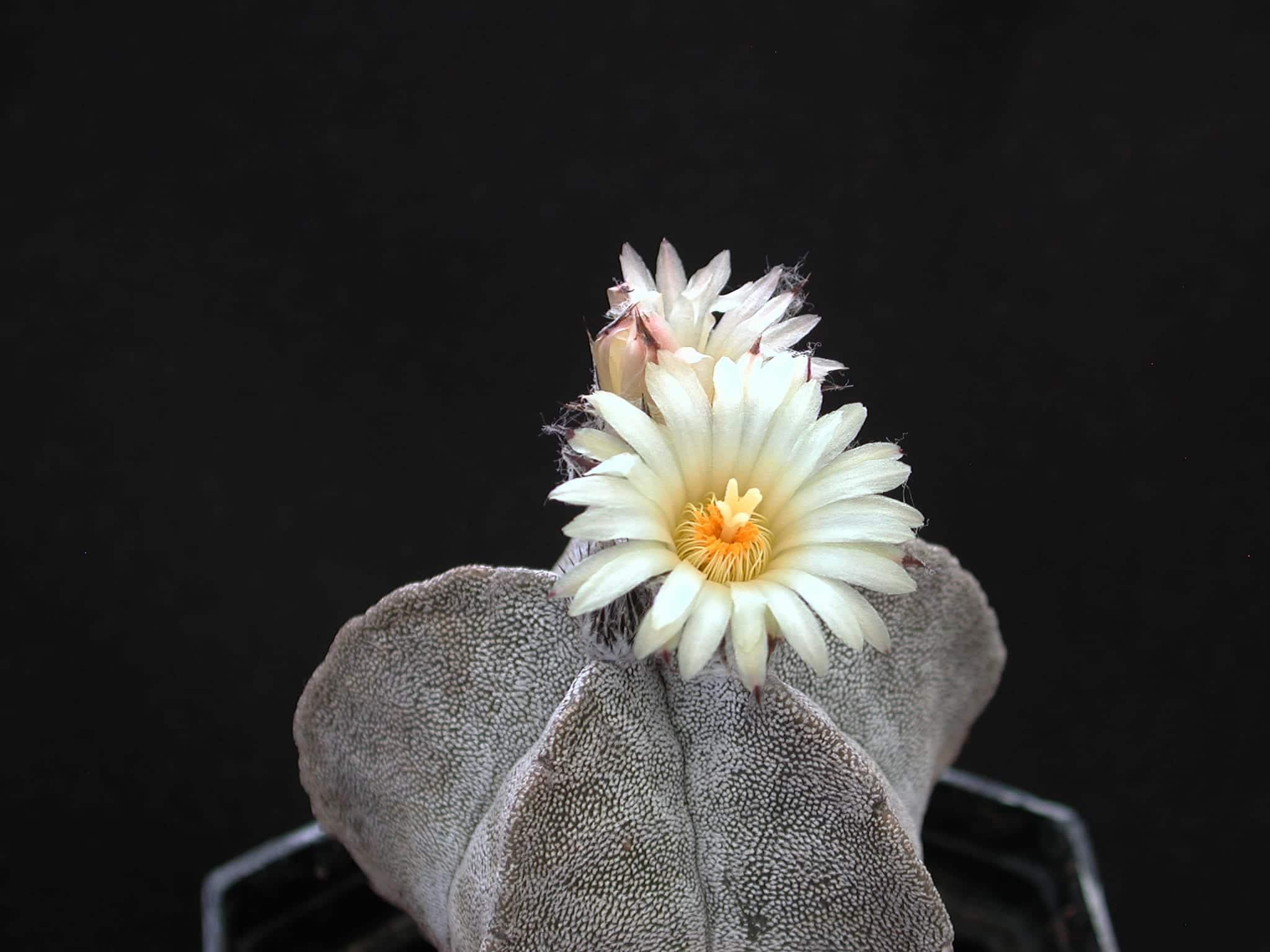 Vista del Astrophytum myriostigma