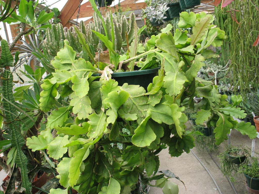 Rhipsalis oblonga, un cactus sin espinas