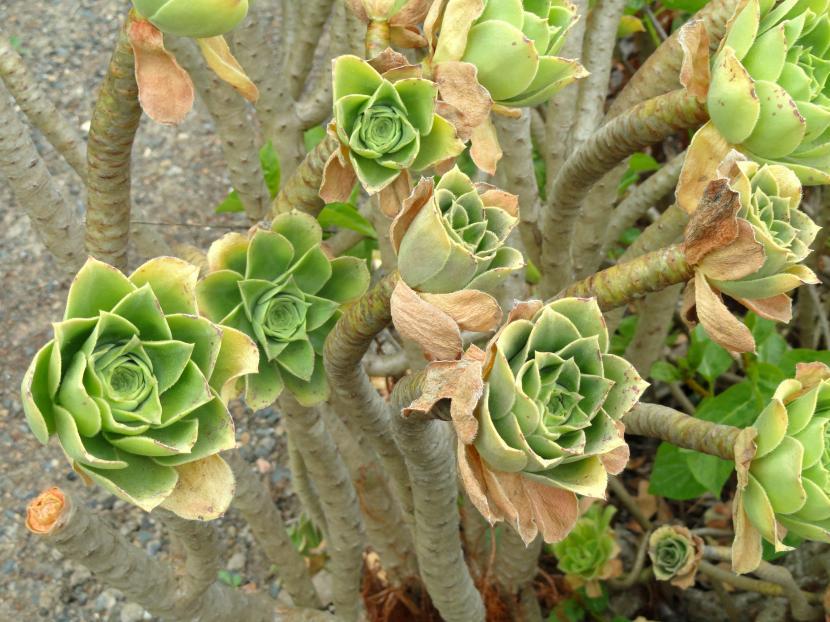 Aeonium balsamiferum