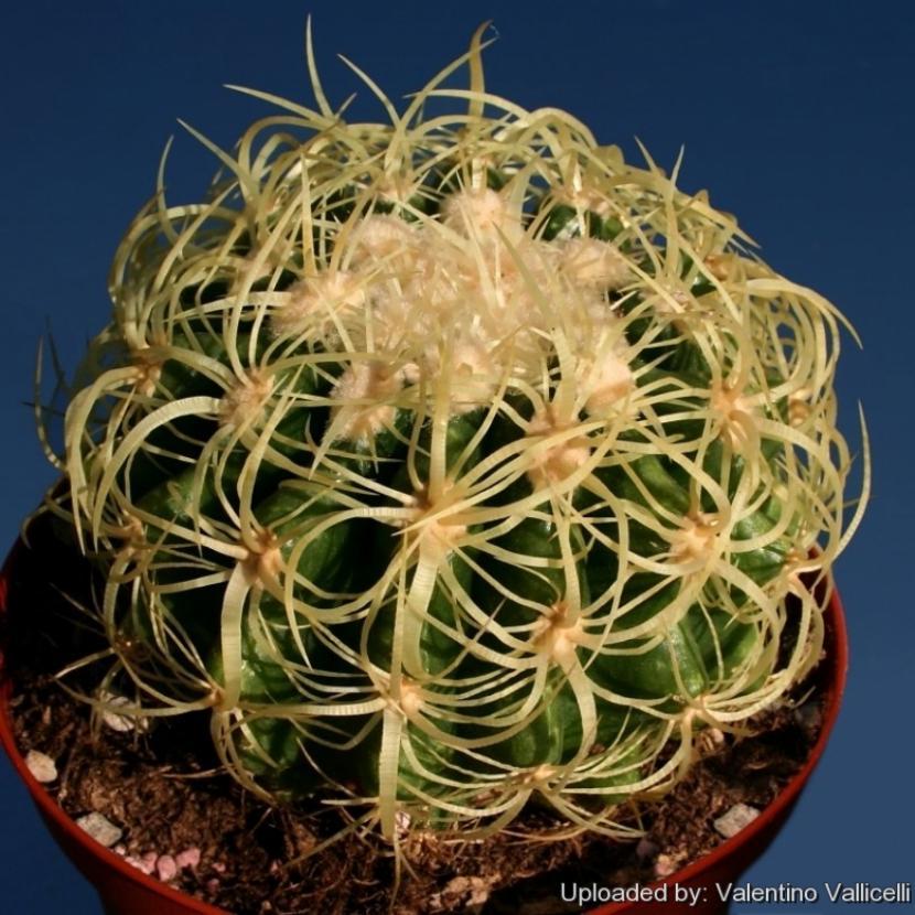 Echinocactus grusonii var. curvispinus