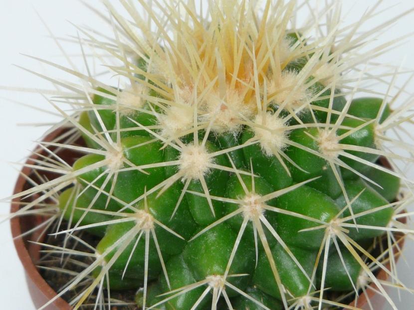 Echinocactus grusonii joven