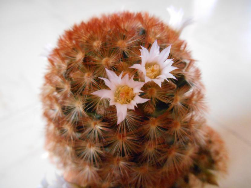 Mammillaria carmenae var. rubbrispina