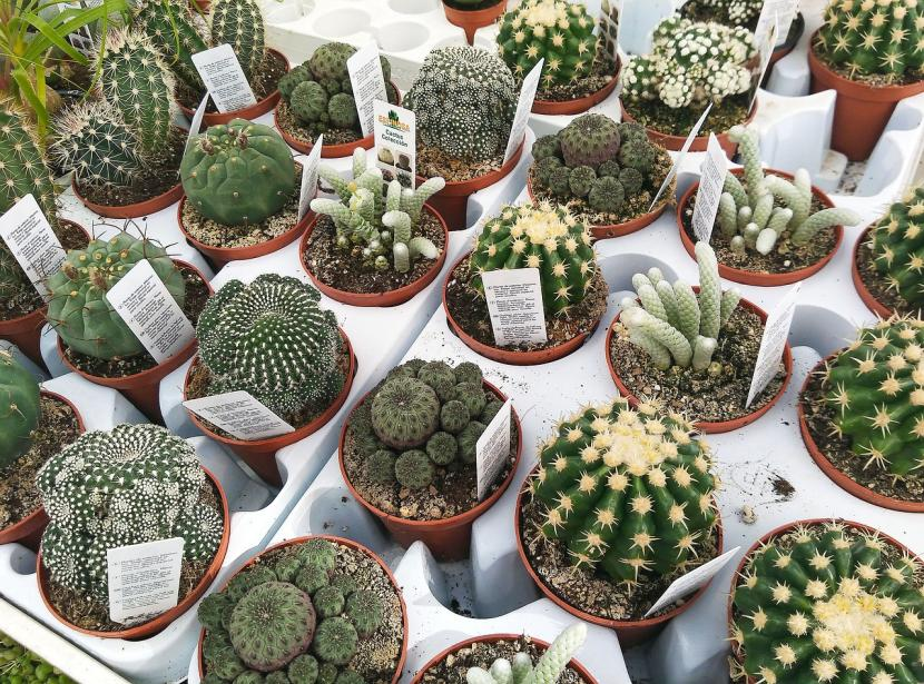 Cactus en un vivero