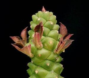 Euphorbia richiei ssp marsabitensis
