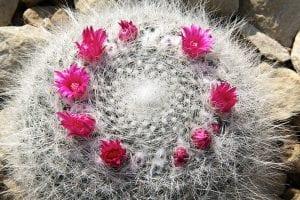 Mammilllaria hahniana en flor