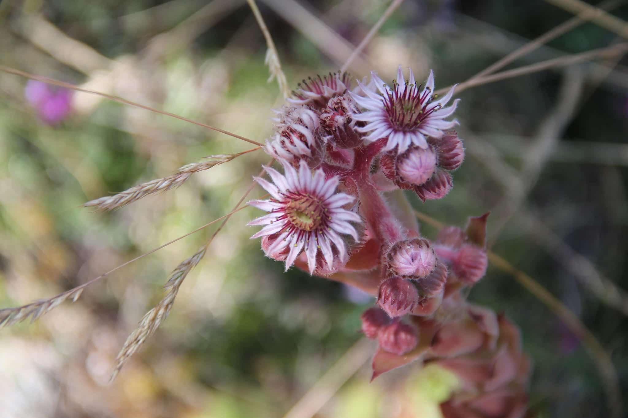 Sempervivum tectorum en flor
