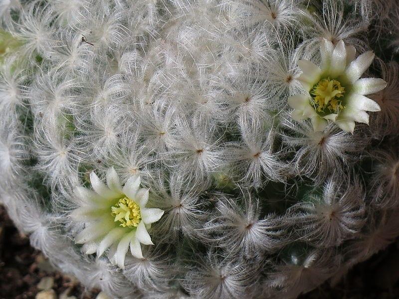 Mammillaria plumosa en flor