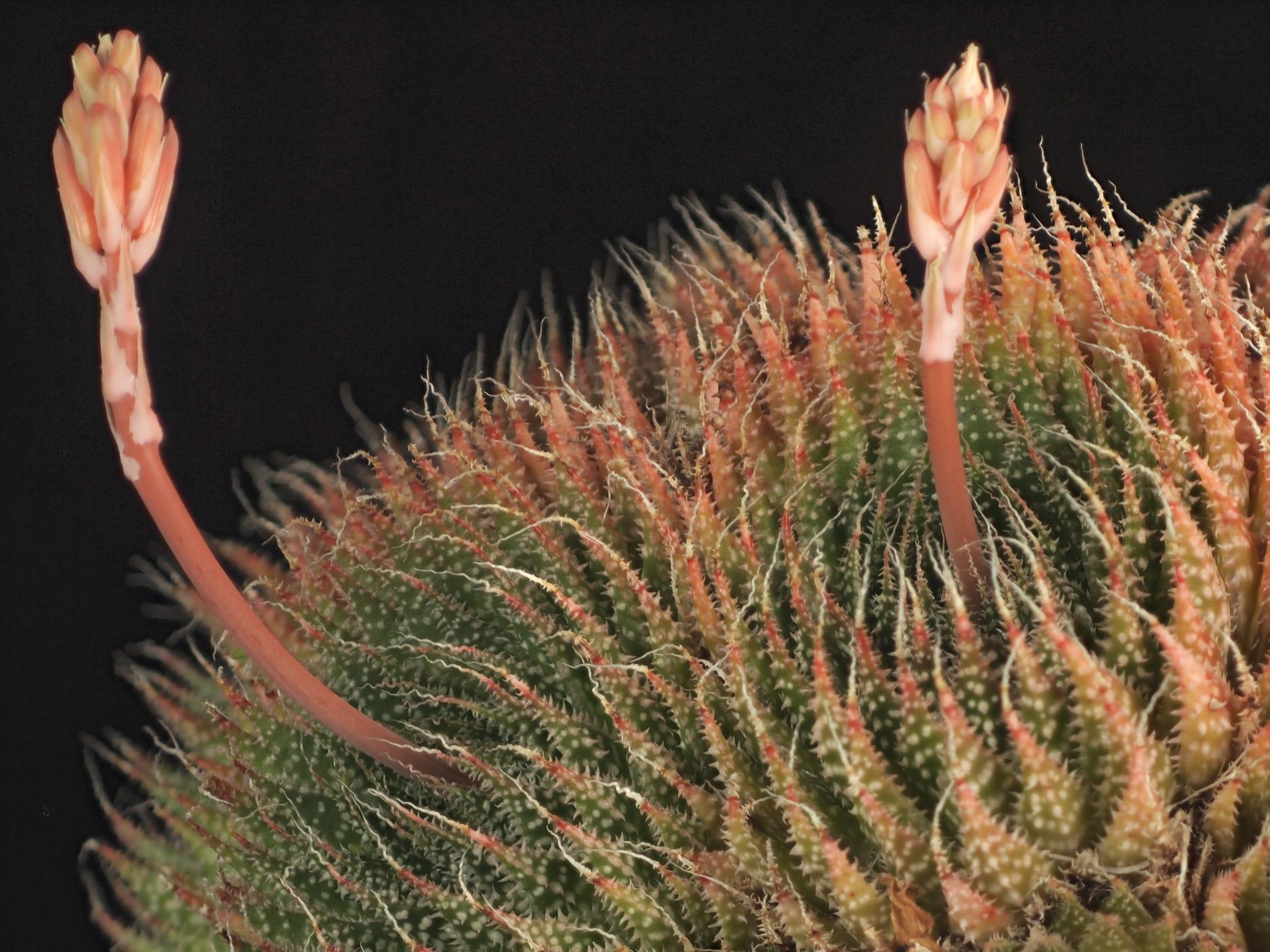 Aloe aristata en flor