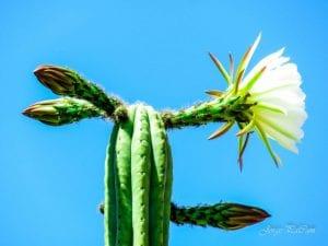 Vista del Echinopsis pachanoi