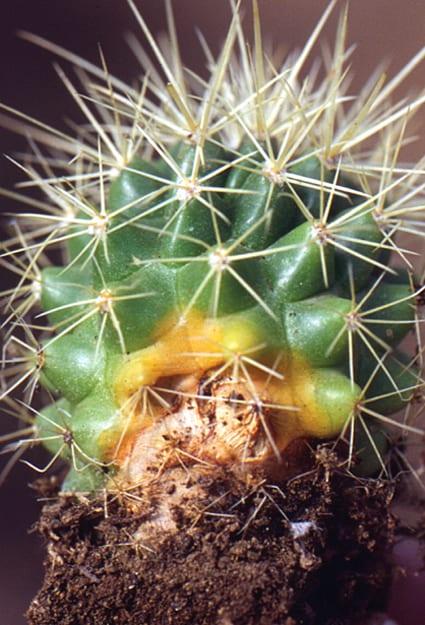 Fusarium en cactus