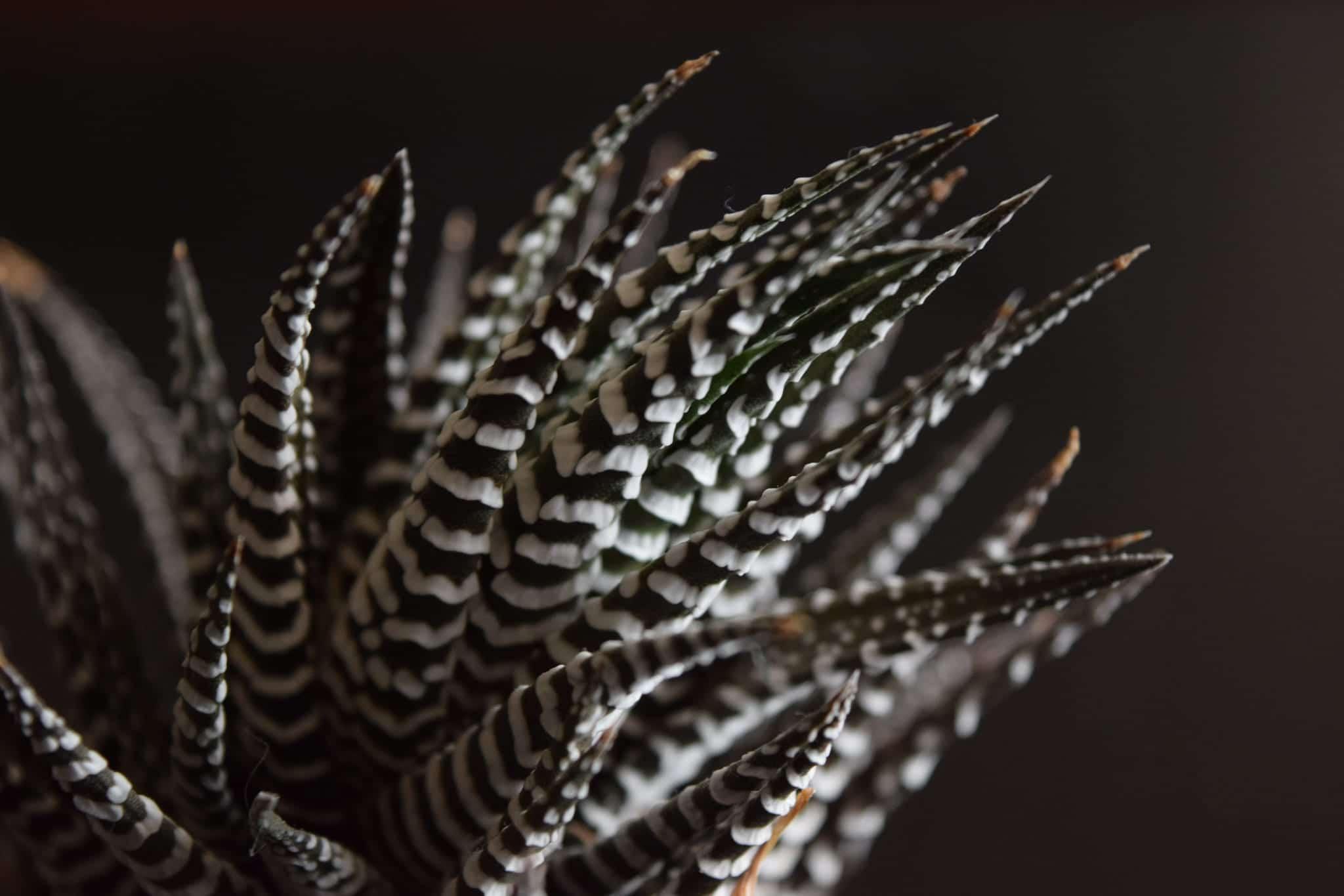 Haworthia attenuata cv Zebra