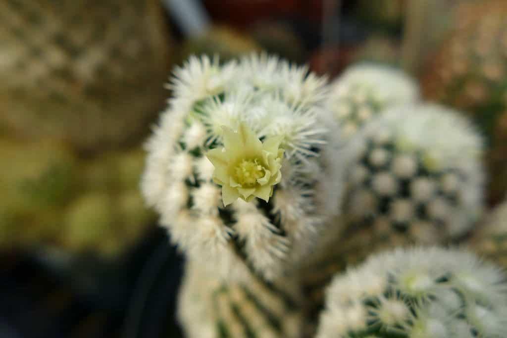 Mammillaria vetula ssp gracilis cv Arizona Snowcap