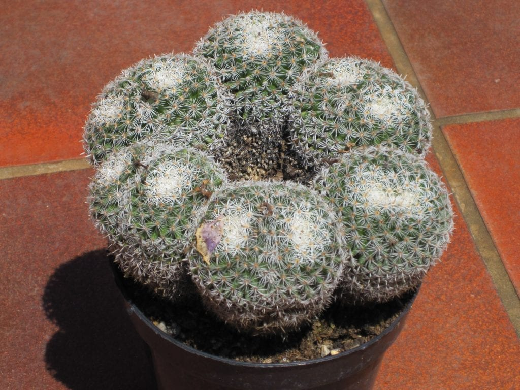Una manera de prevenir la roya es plantando las plantas en un macetas de un diámetro adecuado