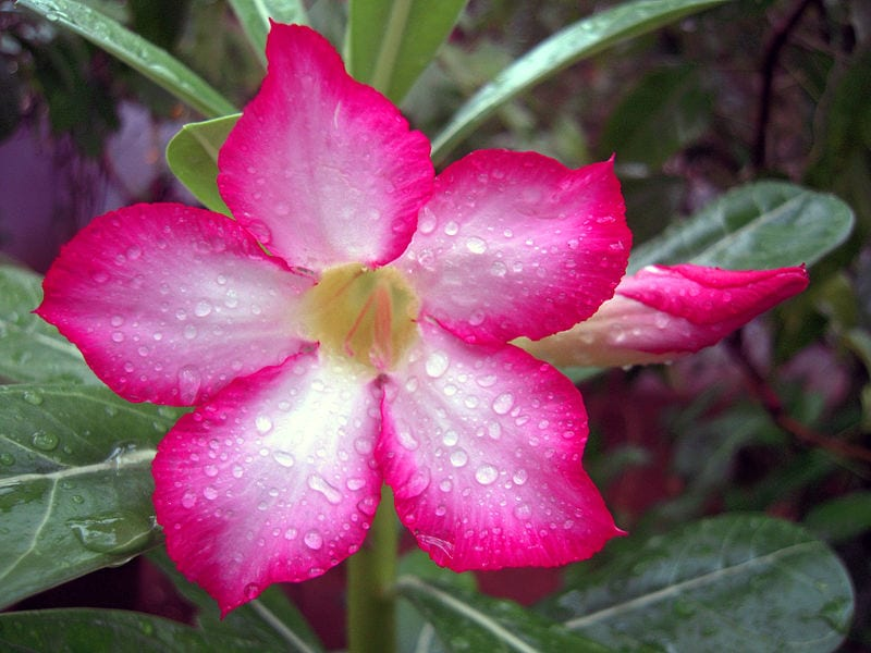 Flor de Adenium obesum
