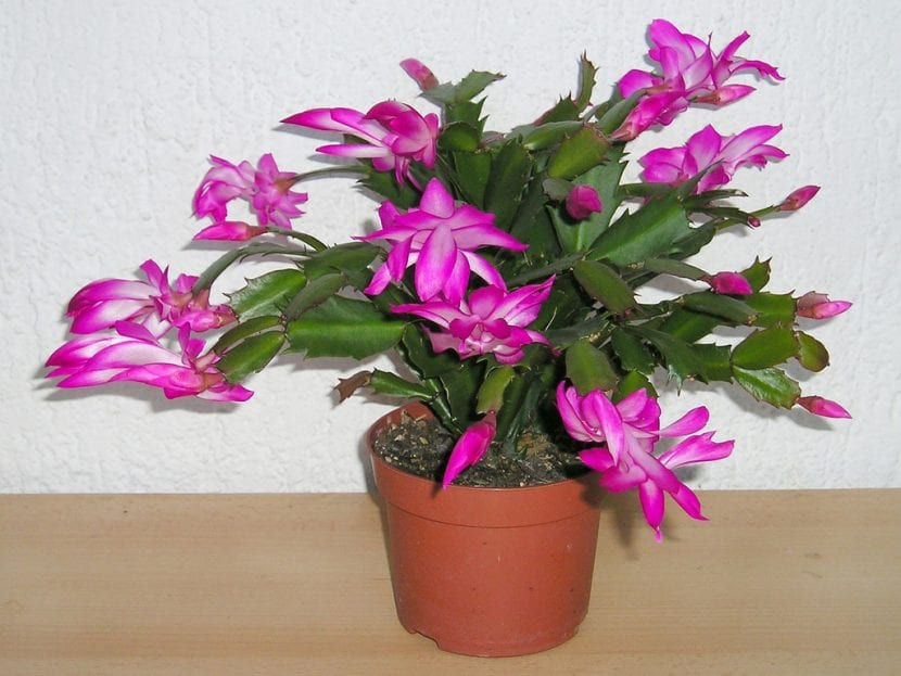 Schlumbergera truncata, un cactus de preciosas flores