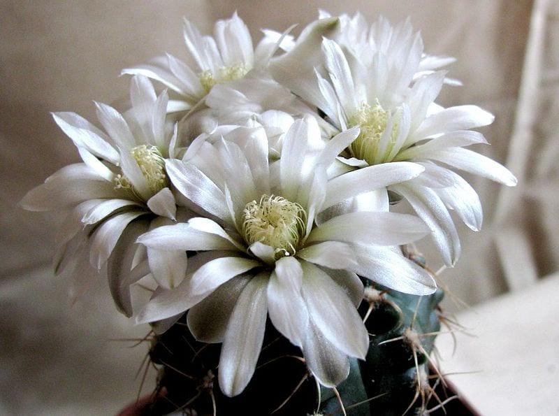 Las flores del Gymnocalycium baldianum pueden ser de varios colores, como el blanco