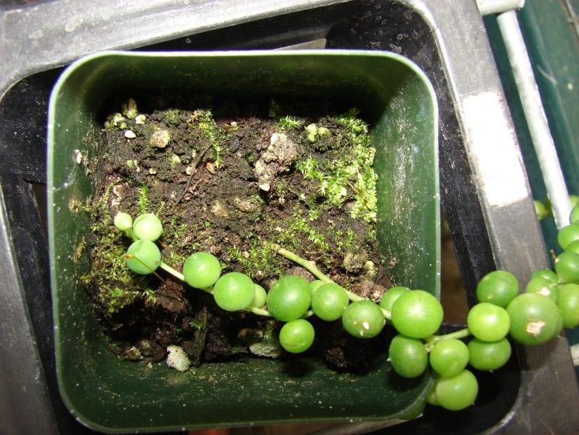 El Senecio rowleyanus se multiplica por esquejes
