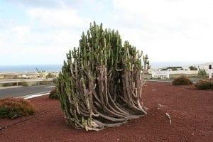 Vista de una Euphorbia trigona adulta