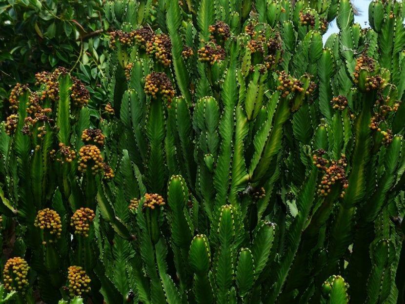 La Euphorbia trigona es una suculenta fácil de cuidar