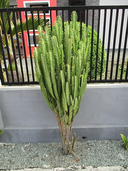 La Euphobia trigona es un arbusto muy decorativo
