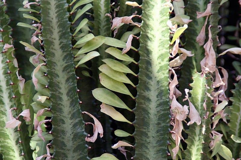 Los tallos de la Euphorbia trigona son rectos