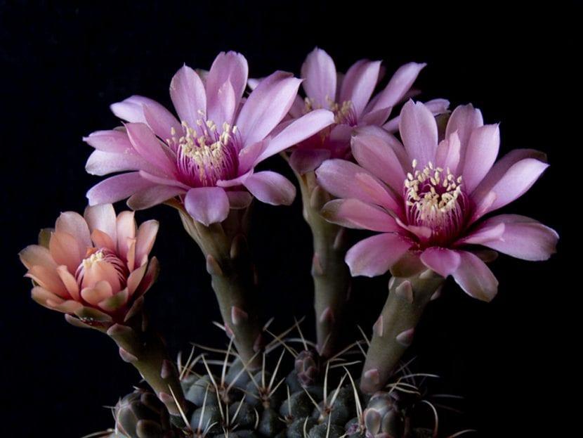 Vista de las flores del Gymnocalycium baldianum