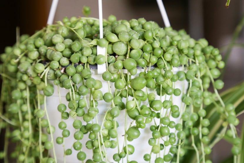 El Senecio rowleyanus es una planta colgante fácil de cuidar