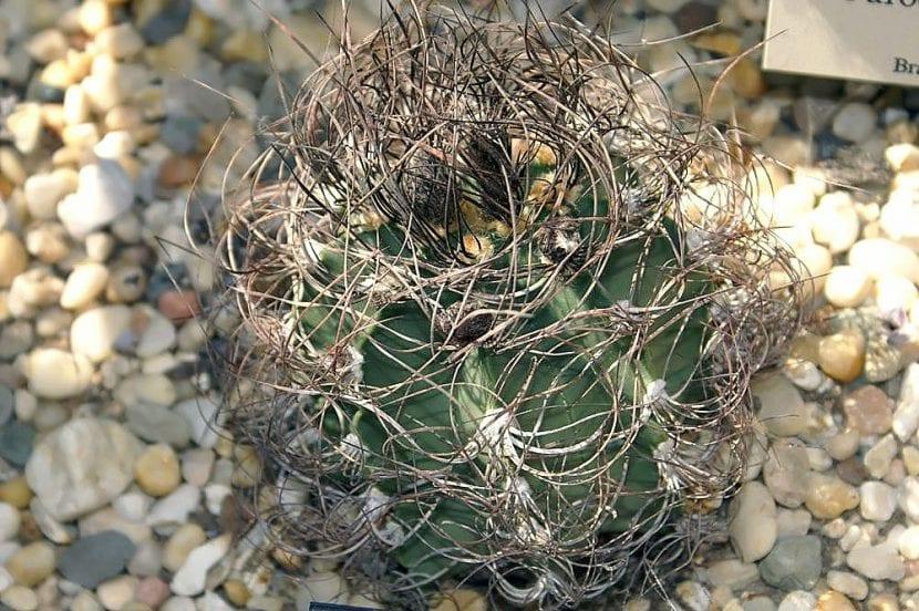 Vista del Astrophytum capricorne