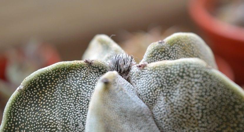 Los Astrophytum son cactus de muy fácil cultivo