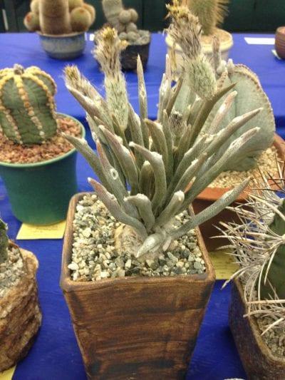 Vista del peculiar cactus Astrophytum caput-medusae