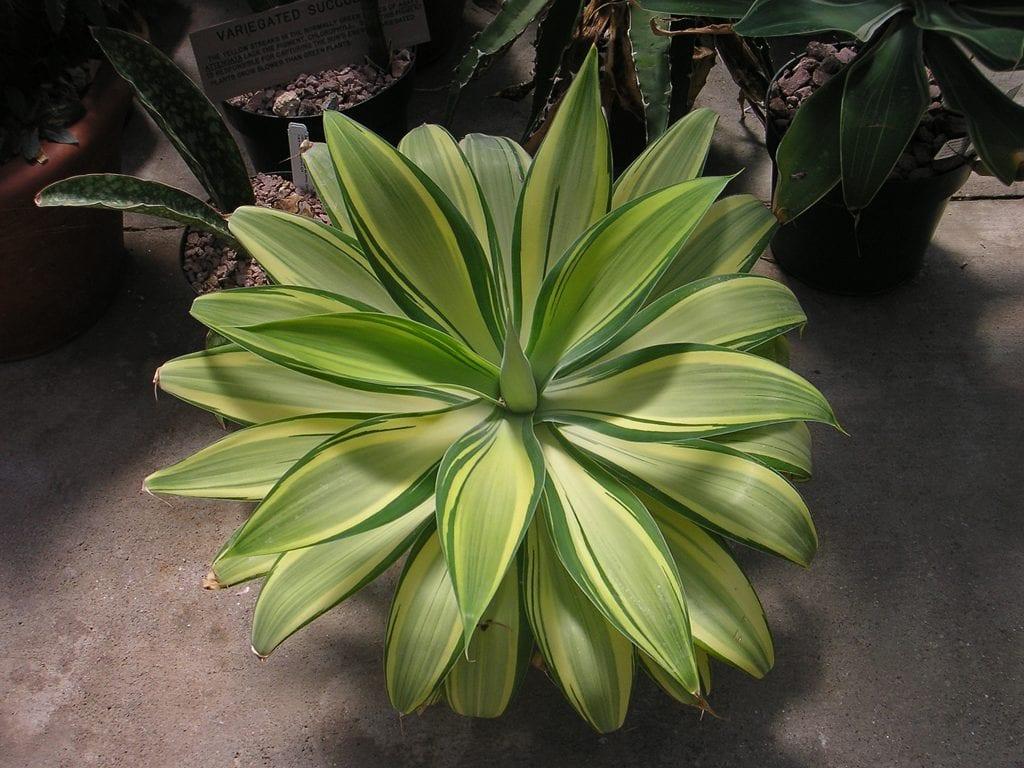 El Agave attenuata 'Variegata' tiene las hojas verdes y amarillas