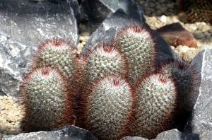 Vista de la Mammillaria bombycina