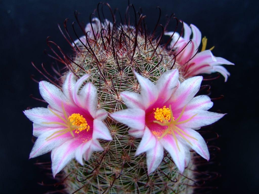 Vista de un ejemplar en flor de Mammillaria swinglei