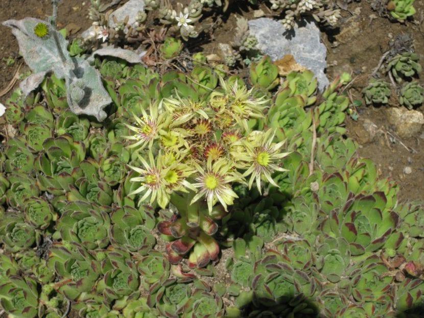 Vista del Sempervivum grandiflorum