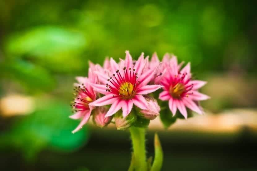 Las flores de los Sempervivum son pequeñas