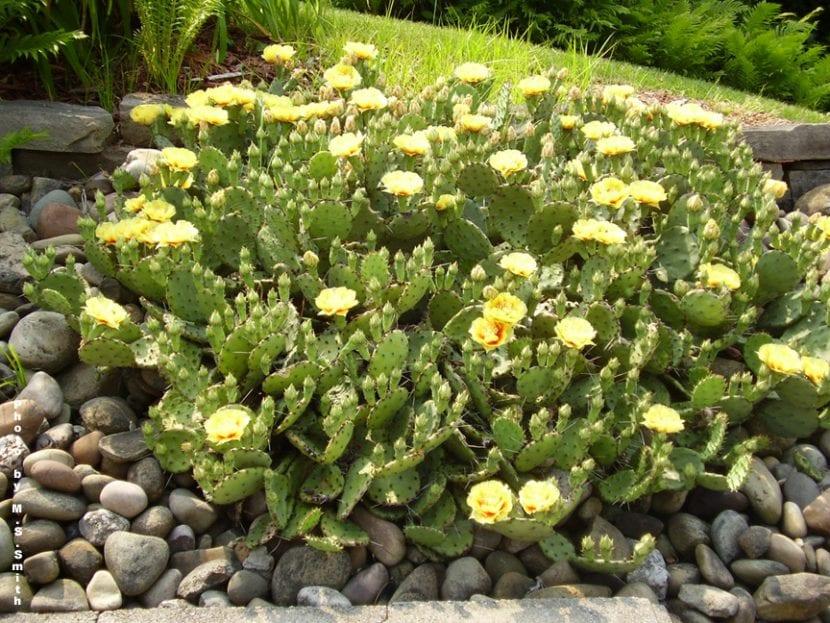 Ejemplar de Opuntia humifusa en flor